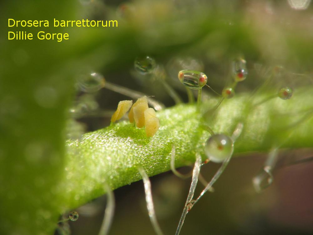 barrettorum_DillieGorge5.jpg