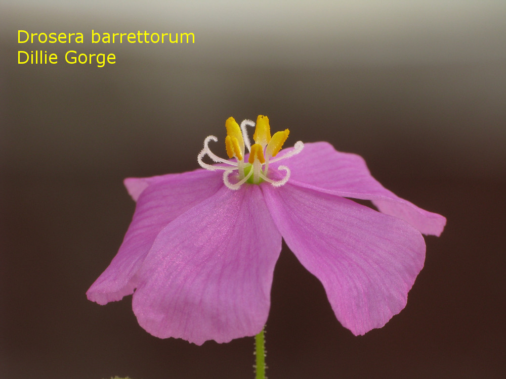 barrettorum_DillieGorge6.jpg