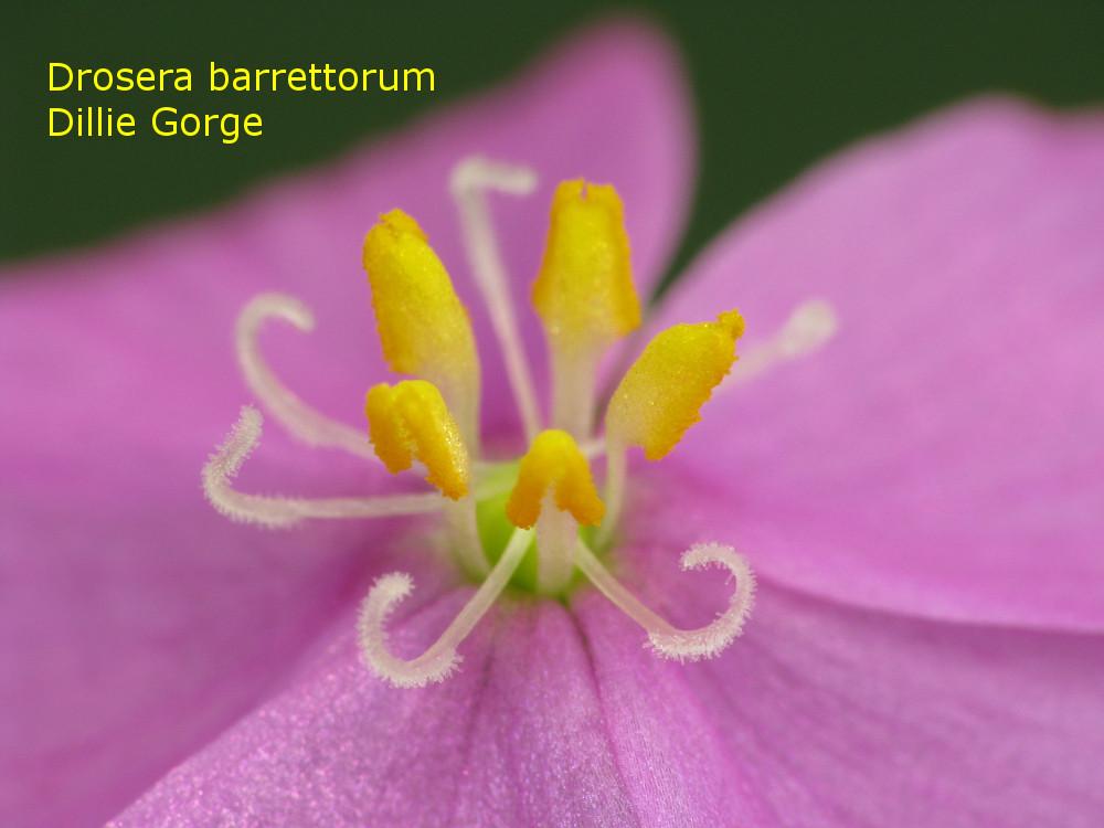 barrettorum_DillieGorge7.jpg
