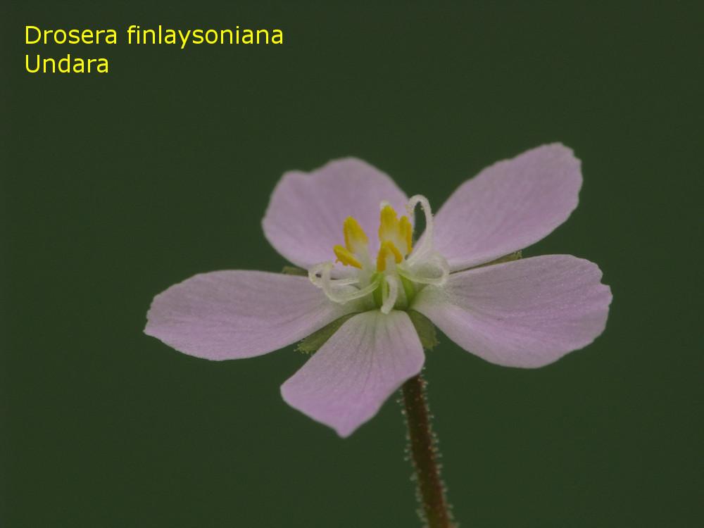 finlaysoniana_Undara3.jpg