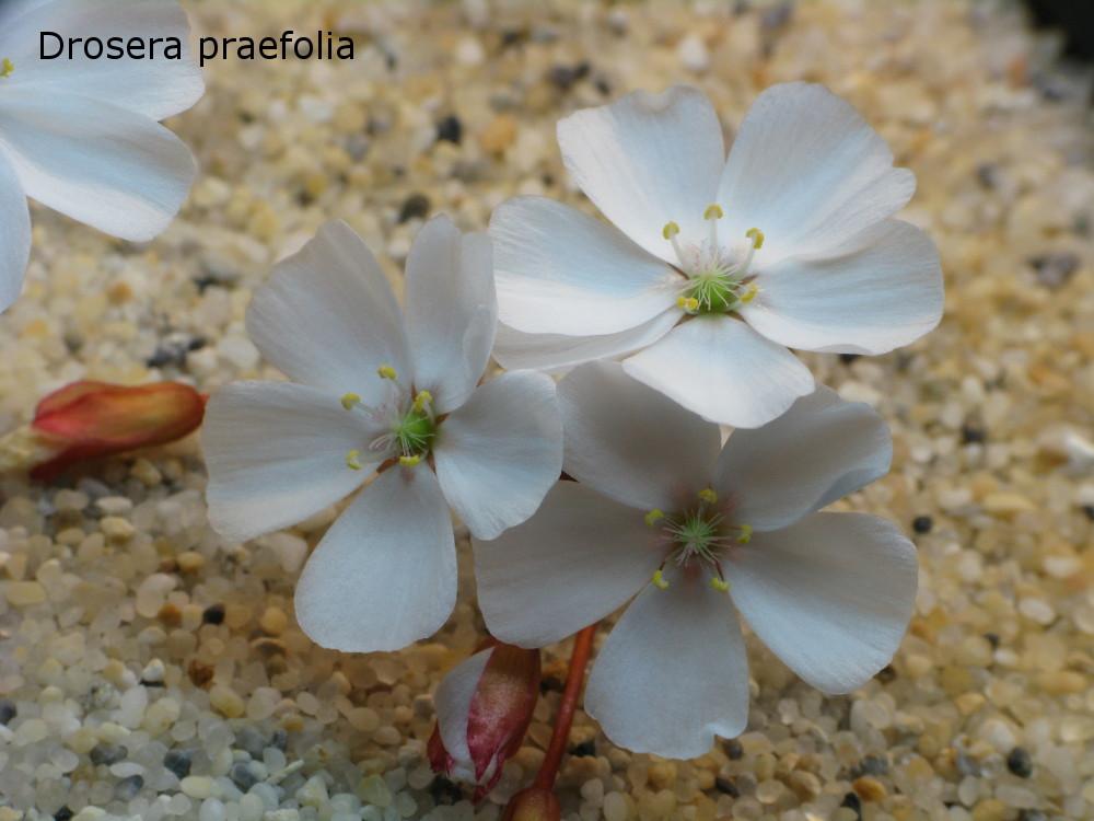praefolia24.jpg