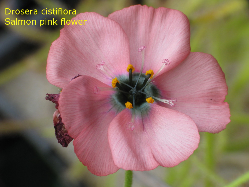 D_cistiflora_spf5.jpg